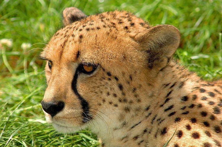 Голова гепарда фото