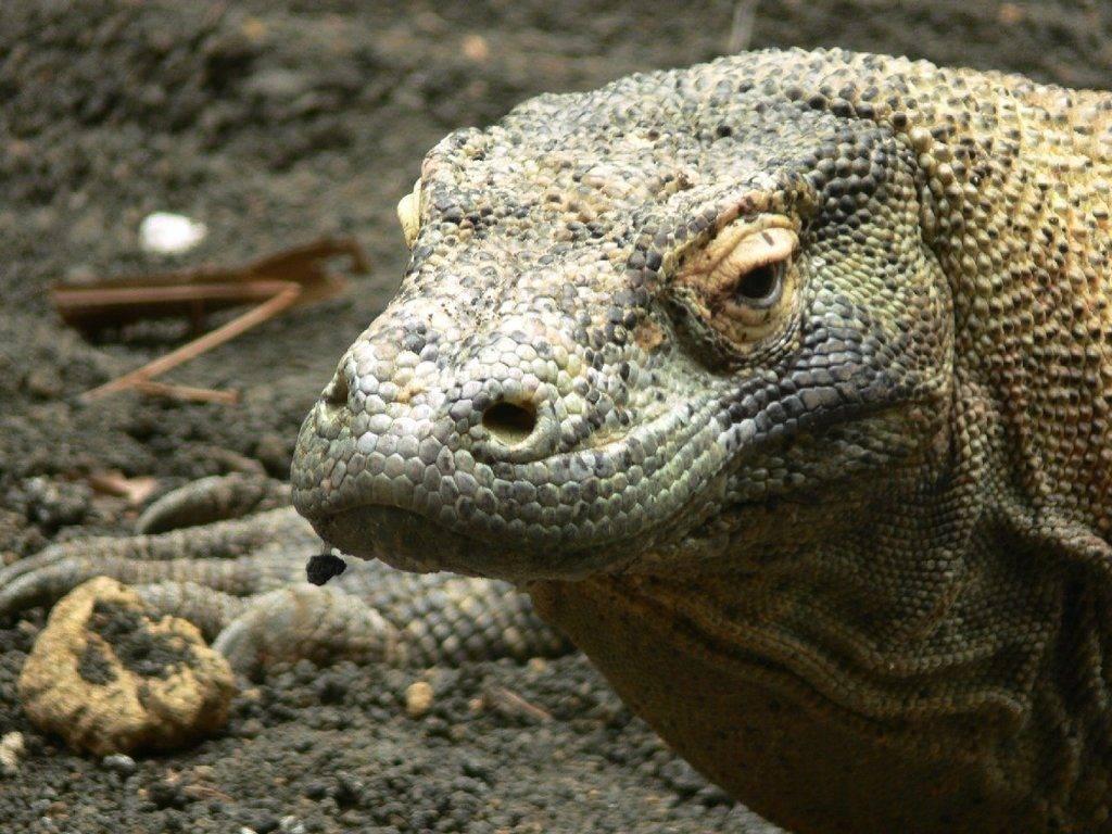 Голова комодского варана фото