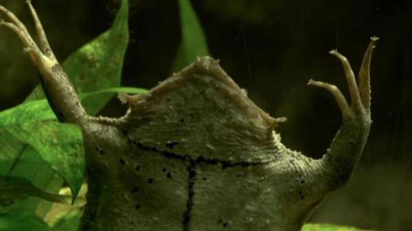 Голова суринамской пипы фото