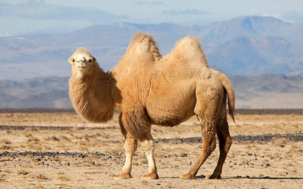 Двугорбый верблюд (бактриан) фото (лат. Camelus bactrianus)