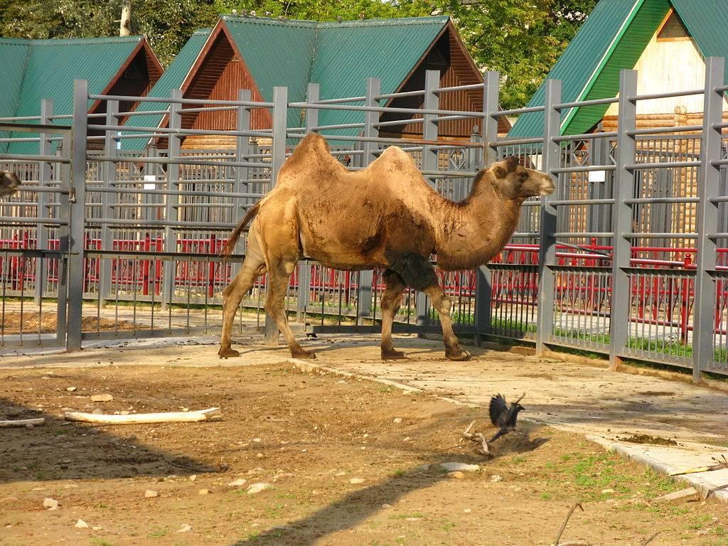 Двугорбый верблюд фото