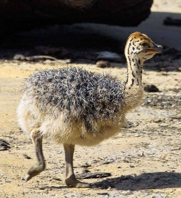 Детеныш страуса фото
