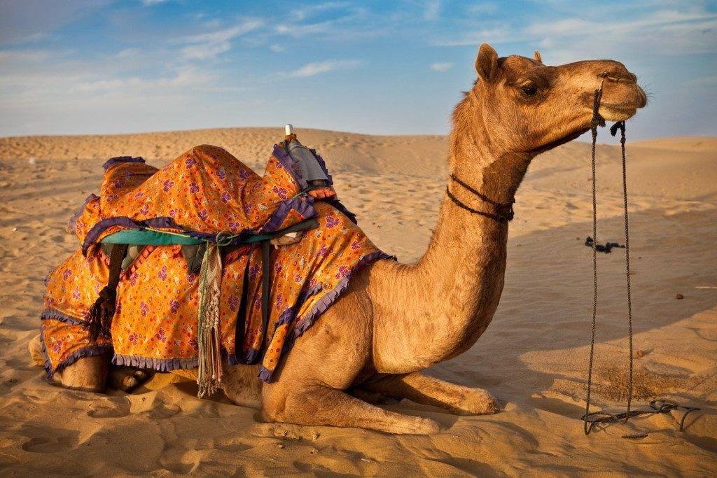 Домашний верблюд фото