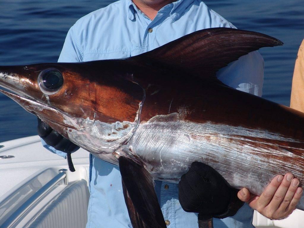 Какого цвета меч-рыба фото