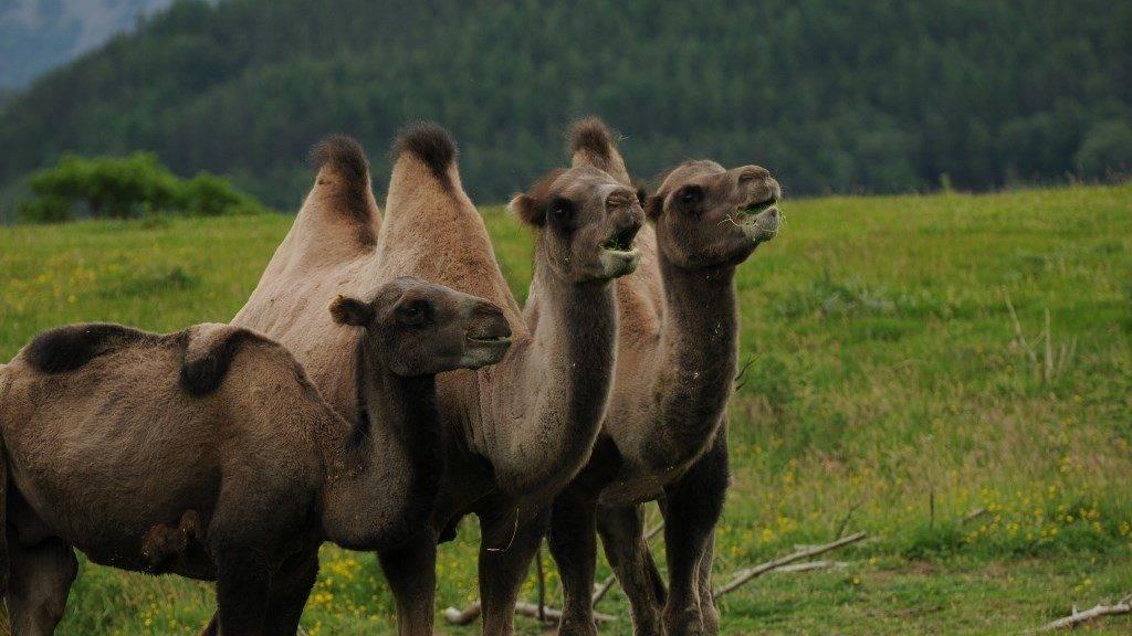 Как выглядит верблюд фото