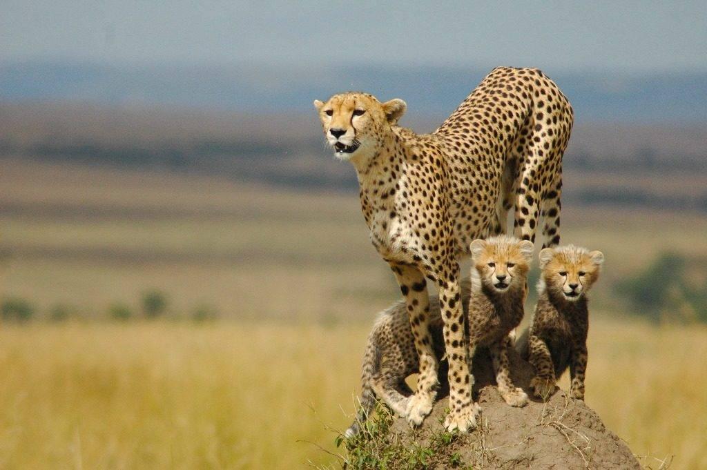 Как выглядит гепард фото