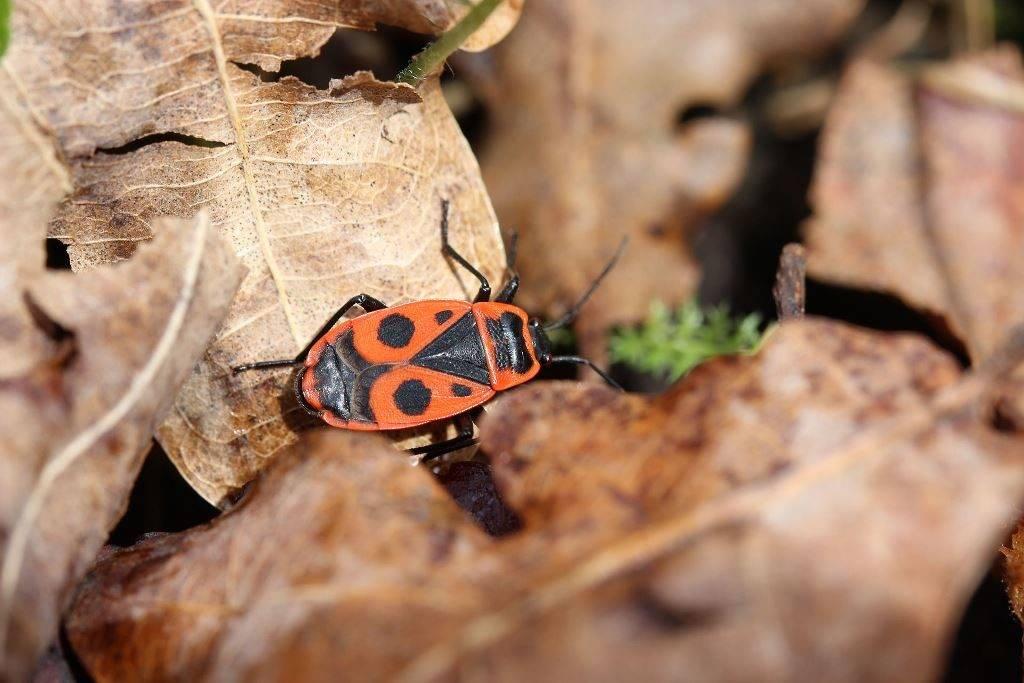 Клоп-солдатик (красноклоп бескрылый, козачёк) фото (лат. Pyrrhocoris apterus)