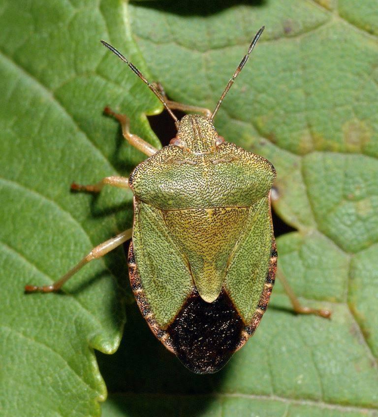 Клоп щитник зеленый древесный фото (лат. Palomena prasina)