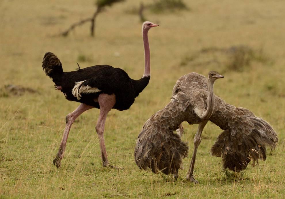 Крылья страуса фото