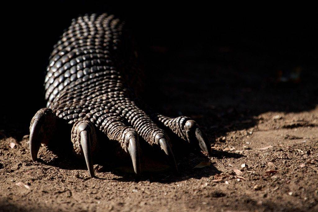 Лапа комодского варана фото