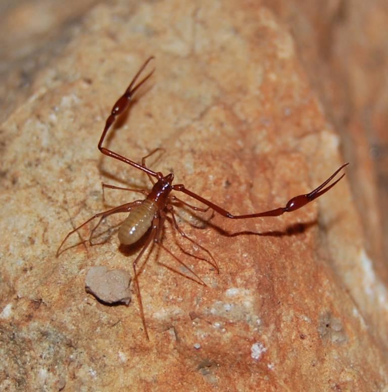 Лжескорпион фото (вид - Titanobochica magna)