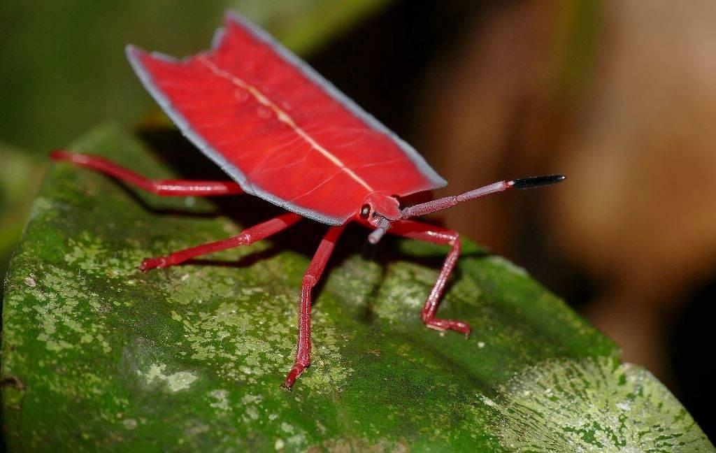 Личинки клопов (вид Pyrrhocoris apterus) фото