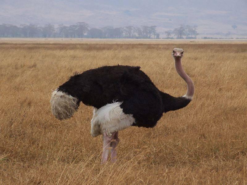 Масайский страус самец фото (лат. Struthio camelus massaicus)