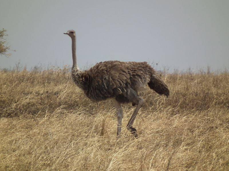 Масайский страус самка фото (лат. Struthio camelus massaicus)