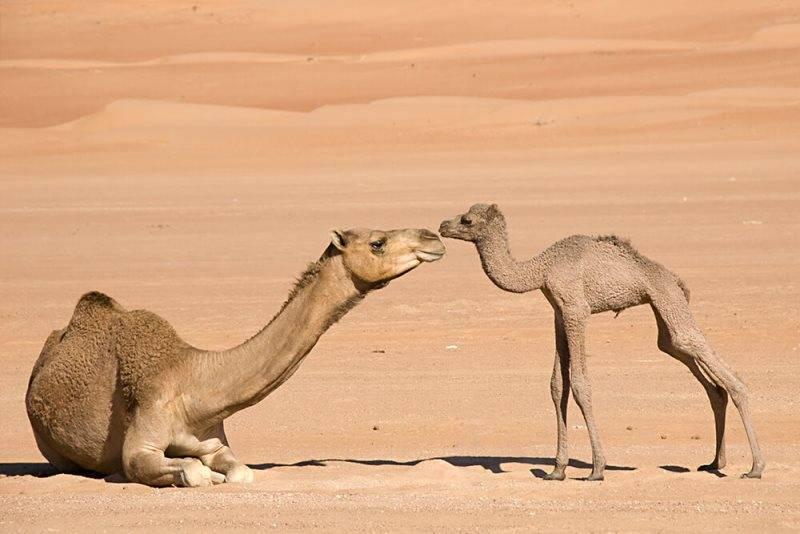 Новорожденные верблюды фото