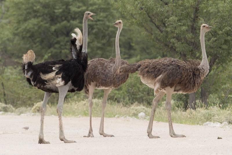 Ноги страуса фото