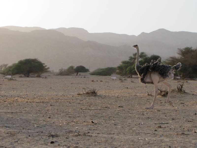 Обыкновенный страус самка фото (лат. Struthio camelus camelus)