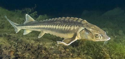 рыбы речные названия и фото