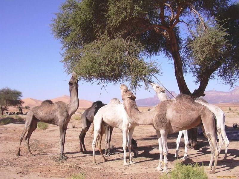 Пища верблюда фото