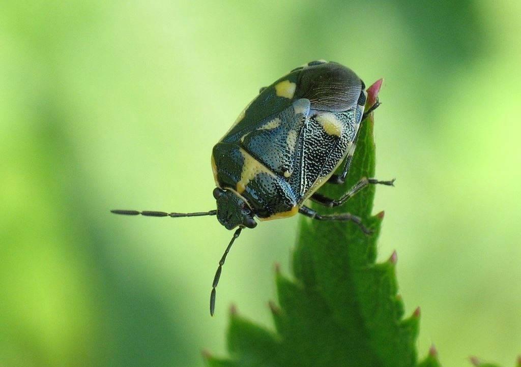 Рапсовый клоп фото (лат. Eurydema oleracea)