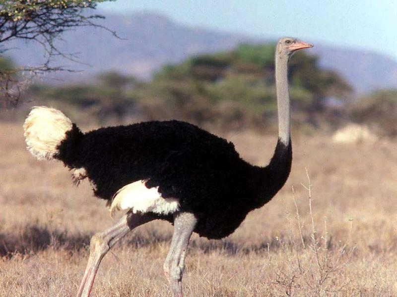Сомалийский страус фото (лат. Struthio camelus molybdophanes)