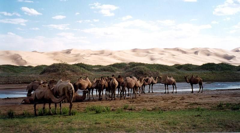 Стадо верблюдов фото
