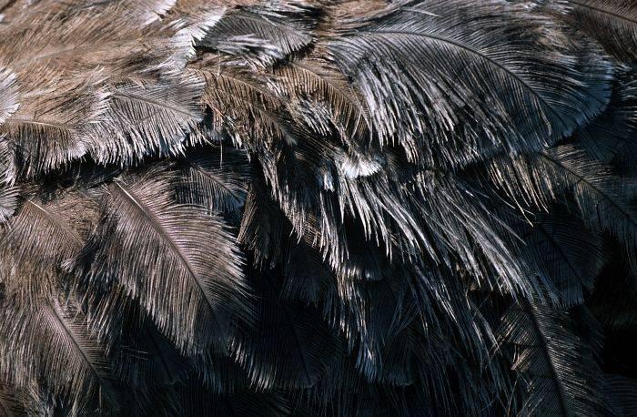 Страусиные перья фото