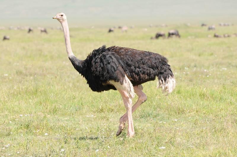 Хвост страуса фото
