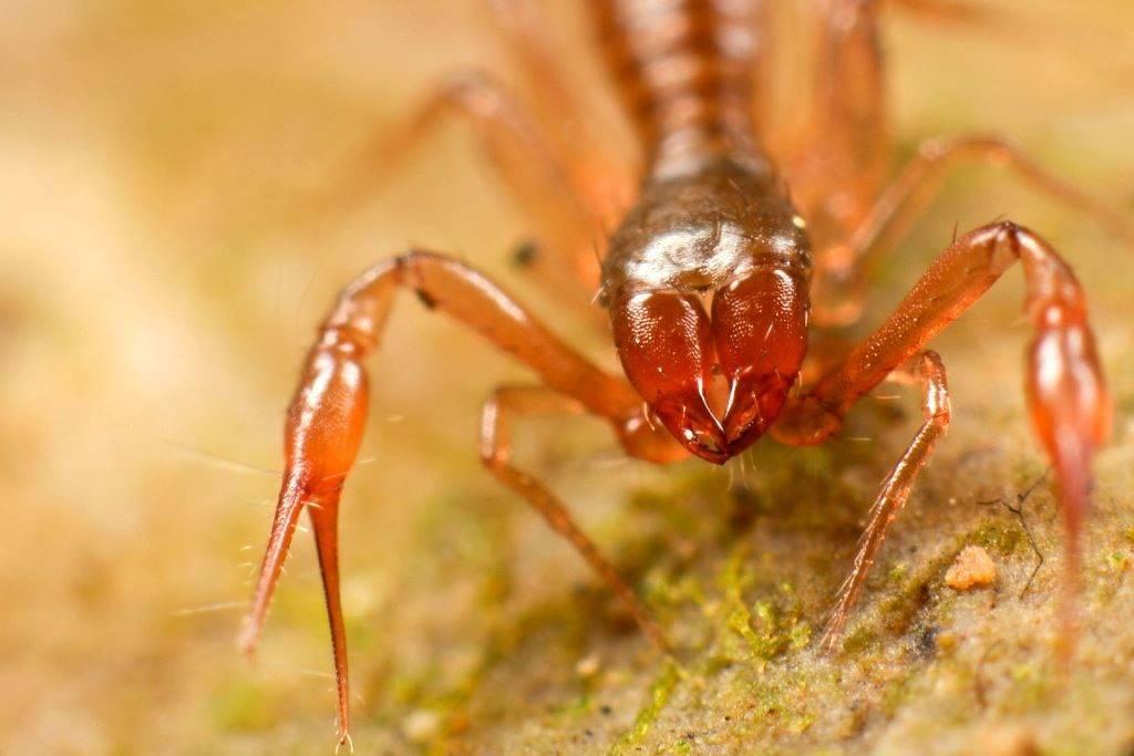 Хелицеры ложноскорпиона фото