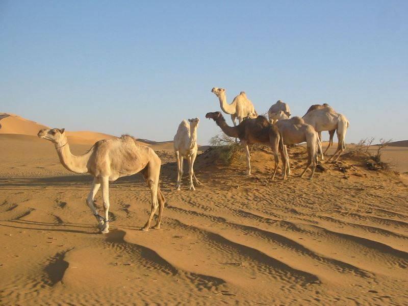 Чем питается верблюд в пустыне фото