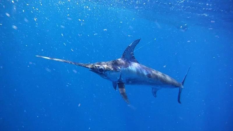 Чем питается меч-рыба фото