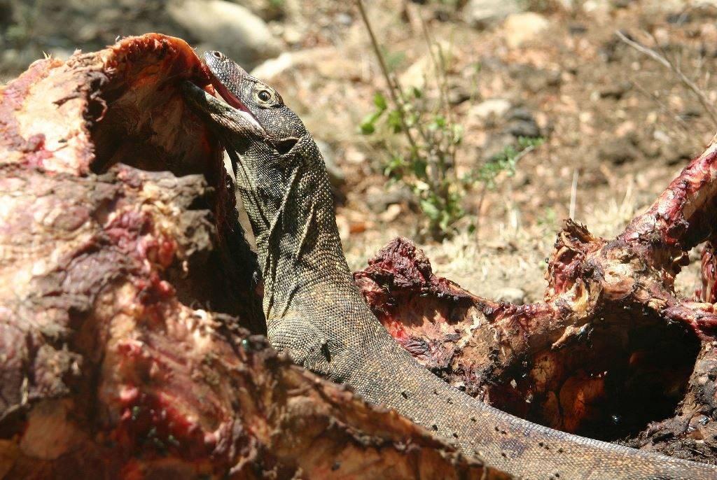 Чем питаются комодские вараны фото