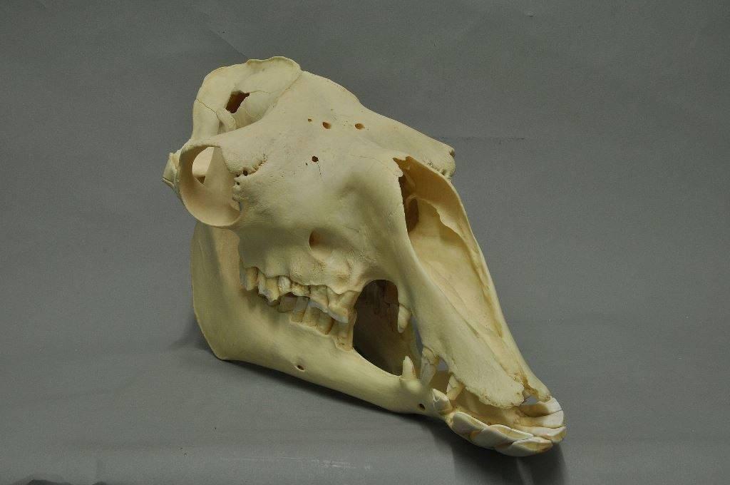 Череп и зубы верблюда фото