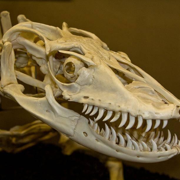 Череп и зубы комодского варана фото