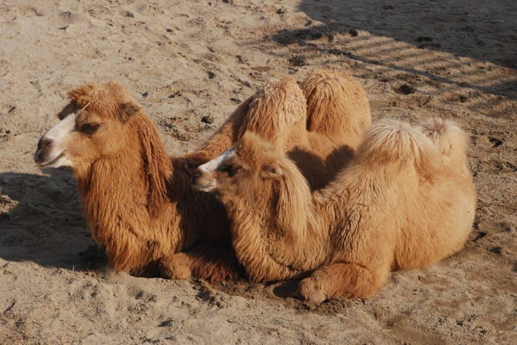 Шерсть верблюда фото