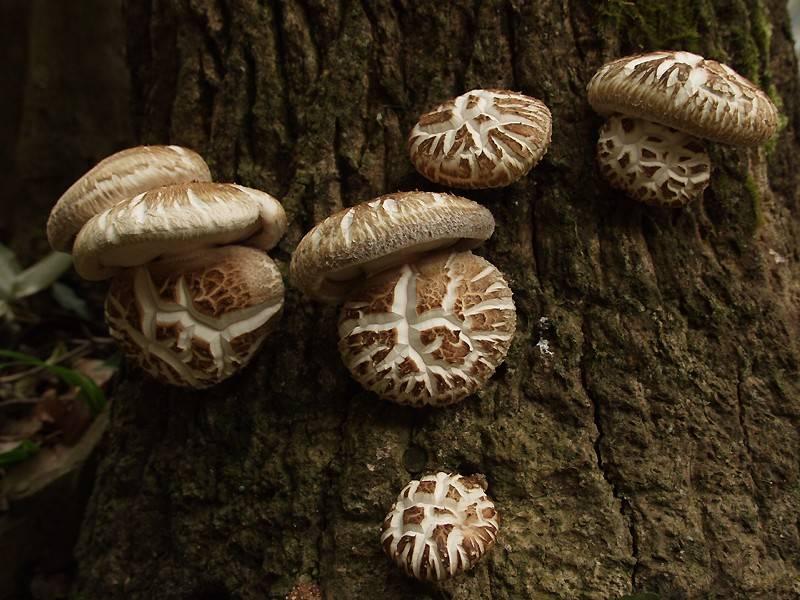 Шиитаки гриб фото