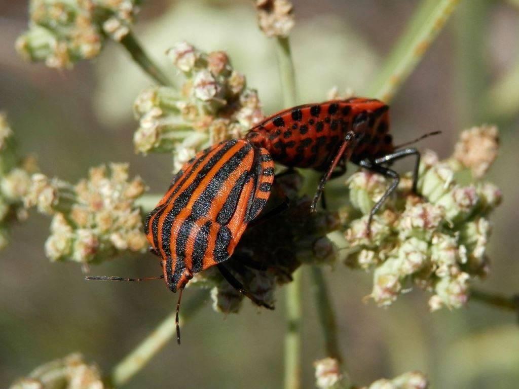 Щитник линейчатый (графозома полосатая) фото (лат. Graphosoma lineatum)