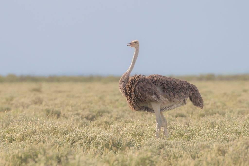 Южный страус самка фото (лат. Struthio camelus australis)