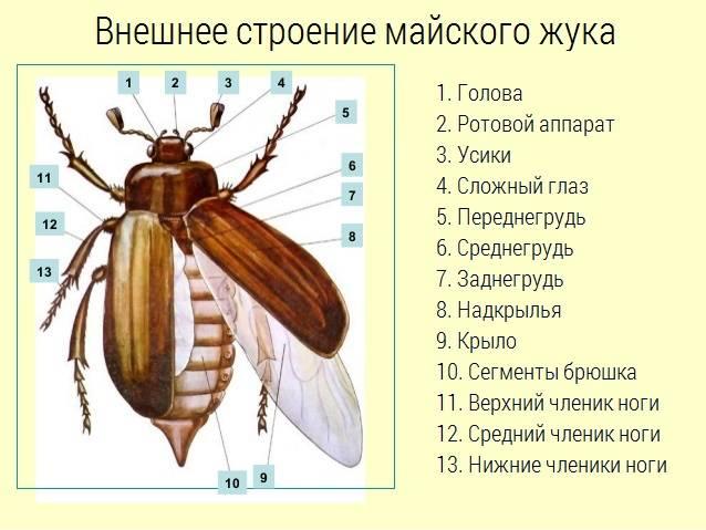 правило, строение надкрыльев майского жука фото отличие швейцарской