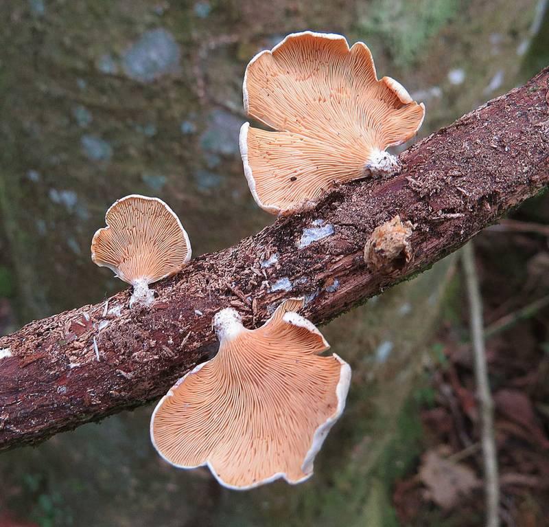 Вёшенка розовая фото (лат. Pleurotus djamor)