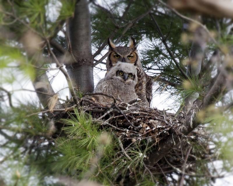 Гнездо виргинского филина фото