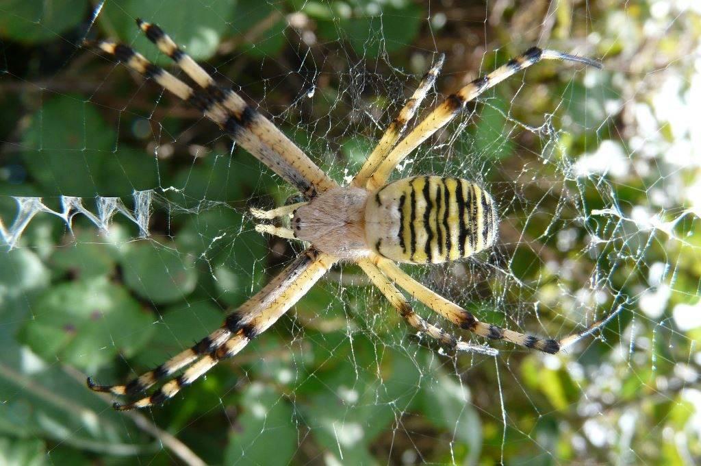 Головогрудь паука-осы самки фото