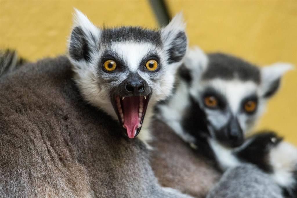 Зубы лемура фото (вид - кошачий лемур)