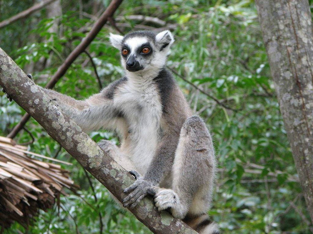 Кошачий лемур (кольцехвостый лемур, катта) фото (лат. Lemur catta)