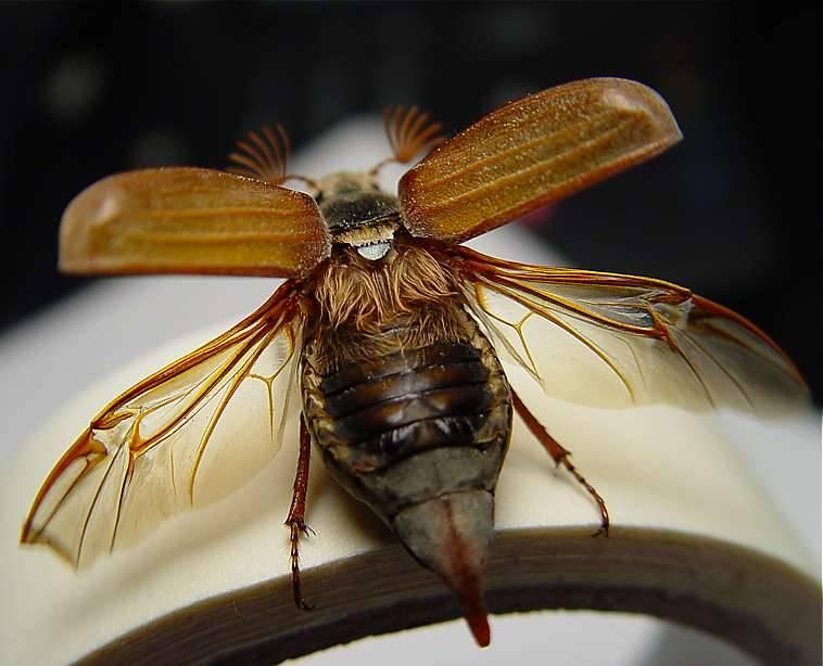 Крылья и надкрылья майского жука фото