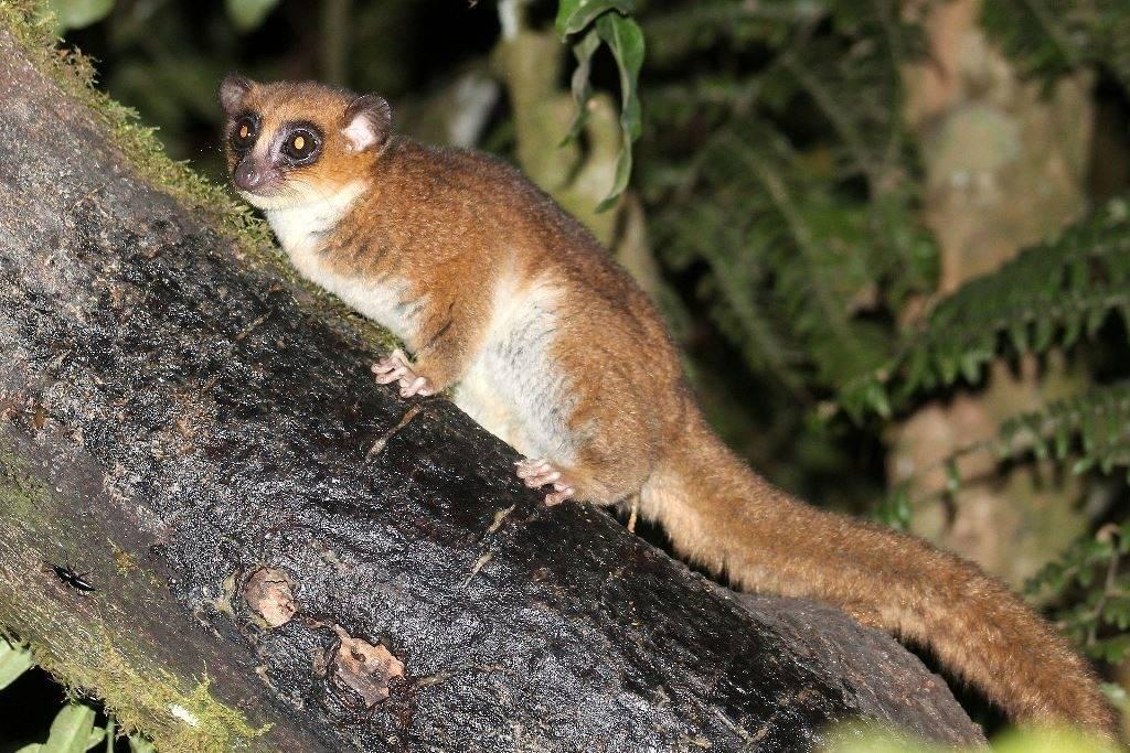 Крысиный лемур (крысиный маки) фото (лат. Cheirogaleus major)