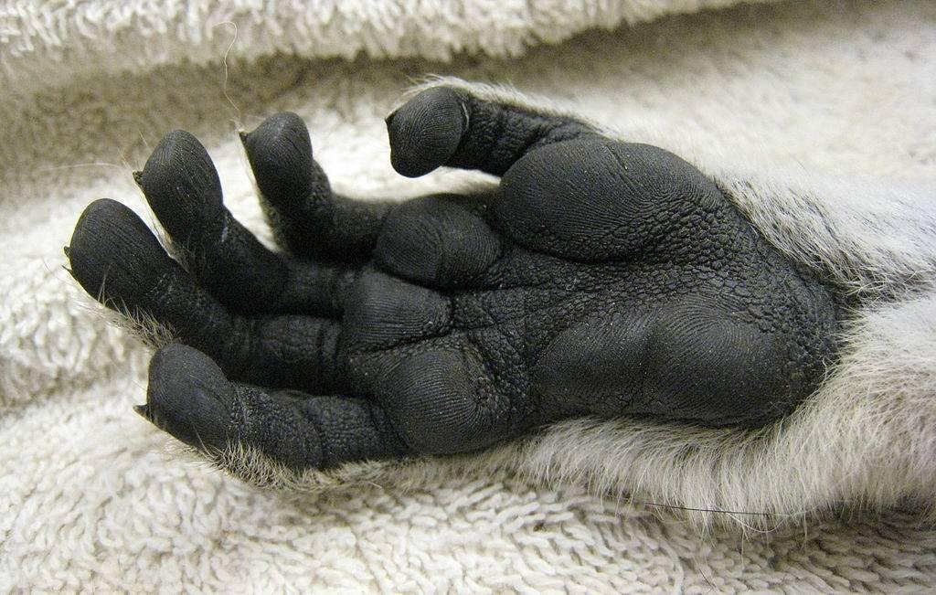 Лапа лемура фото (вид – кошачий лемур)