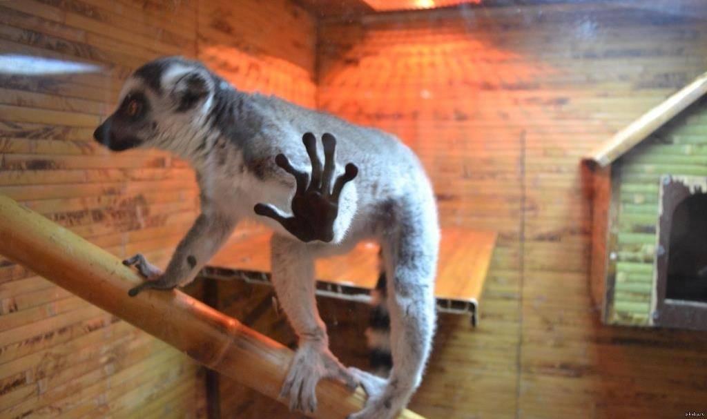 Лемур в домашних условиях фото (вид – кошачий лемур)