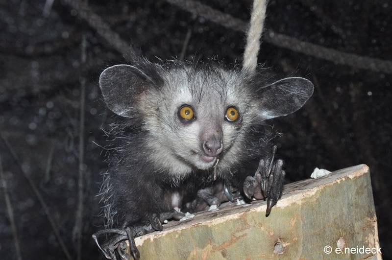 Мадагаскарская руконожка (ай-ай, айе-айе) фото