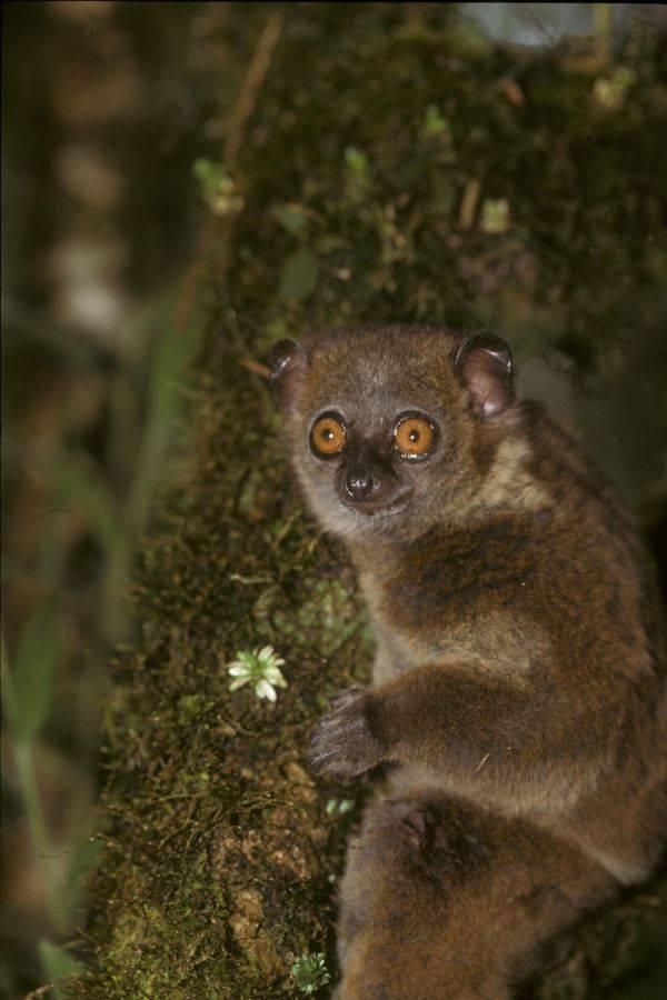 Мелкозубый лемур фото (лат. Lepilemur microdon)